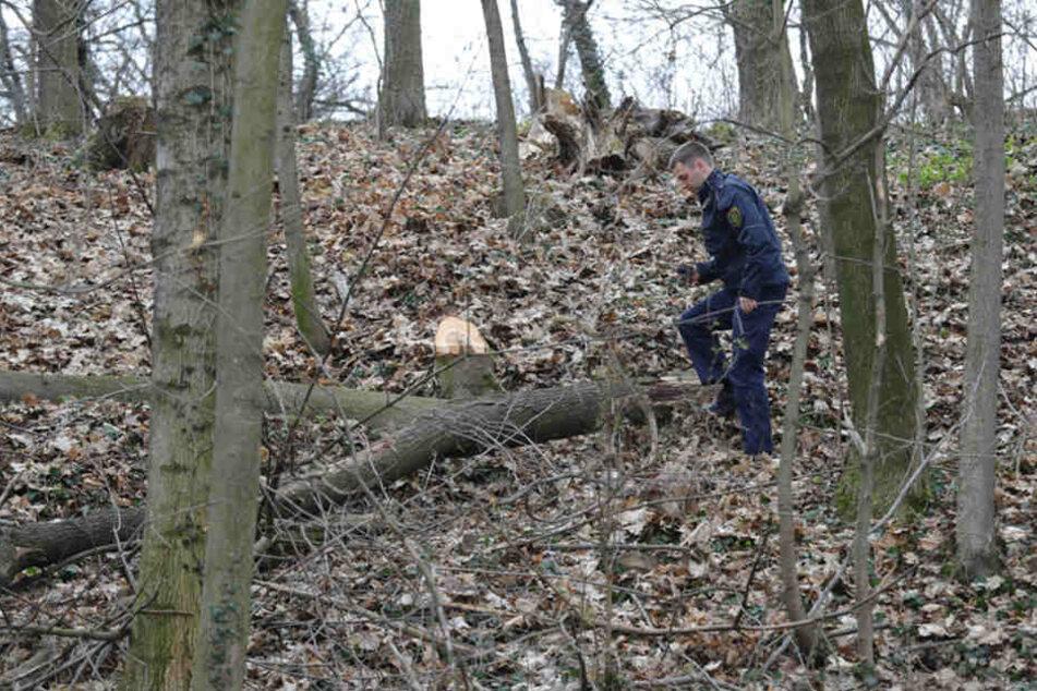 In einem kleinen Wäldchen bei Maxen ist ein Baum auf einen 72-jährigen Holzfäller gekippt und hat diesen schwer verletzt.