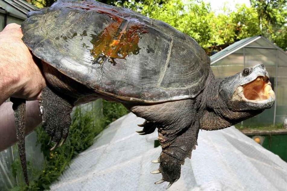 Solch eine Schnappschildkröte wurde von dem Lehrer gefüttert.