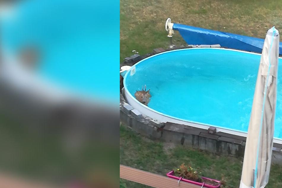 In Golzern (F.) landete ein Rehbock im Garten-Pool.