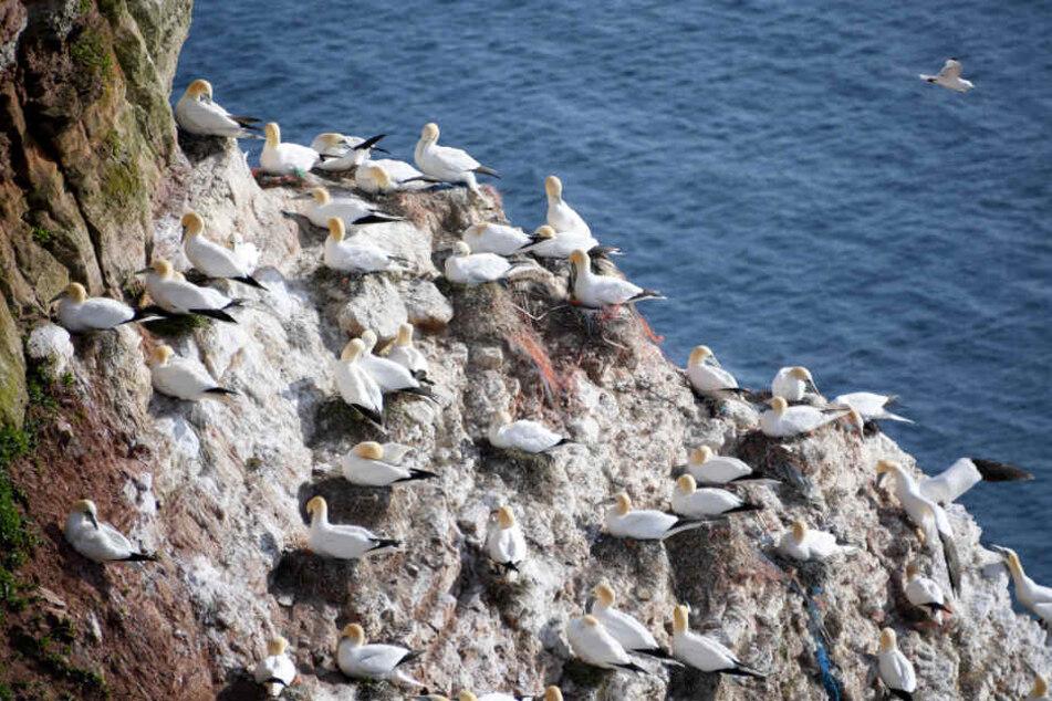 Basstölpel nisten an Helgolands felsiger Steilküste.