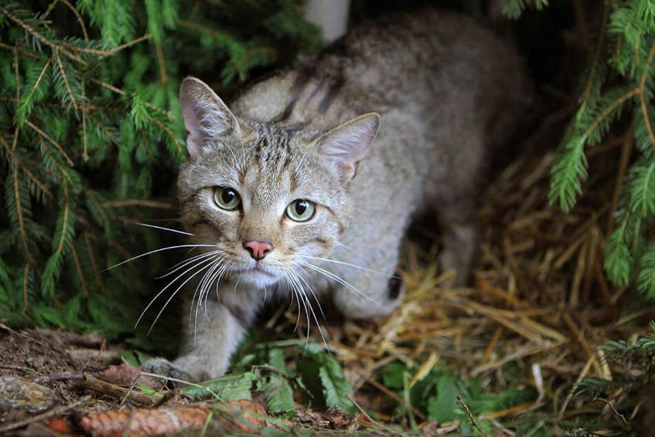 Nach dem Auwald in Leipzig haben Experten jetzt auch die Wildkatze in der Dübener Heide nachgewiesen.