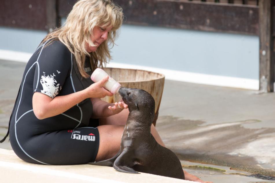 Robbenbaby Nova muss von Tiertrainerin Liliane Close mit Milch gefüttert werden.