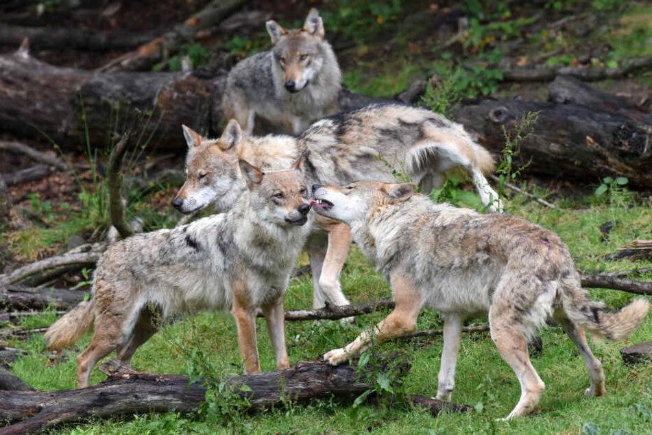 Es war nicht der erste Fall von entlaufenen Wölfen im Wildpark Knüll (Symbolbild).