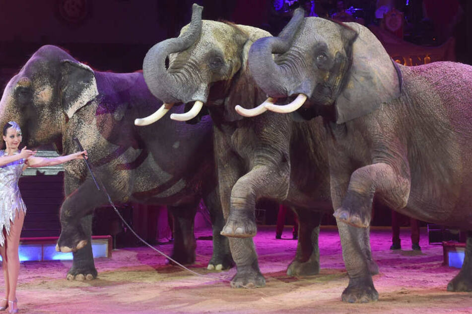 """München: """"Tierquälerei in höchstem Ausmaß!"""": Circus Krone will Elefanten zurück ins Programm holen"""