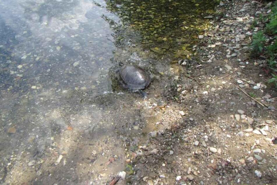 Die Schildkröte wurde letztlich in den Rotter See entlassen.