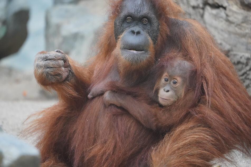 Orang-Utan-Nachwuchs Batu sitzt mit Mutter Toba im Orang-Utan-Haus im Tierpark Hagenbeck.