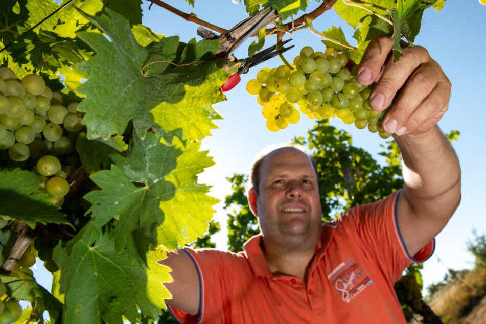 Winzer Marcus Hegwein schneidet Trauen der Weissweinsorte Ortega in Markt Einersheim.