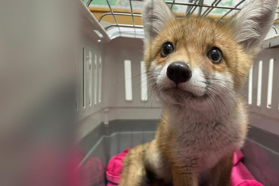 Diesen kleinen Fuchswelpen nahmen die Beamten der Frau ab.
