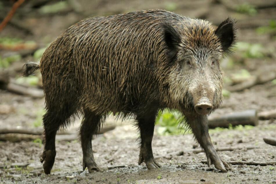 Ein Wildschwein stattete den Badegästen mit ihren Jungtieren einen Besuch ab. (Symbolbild)