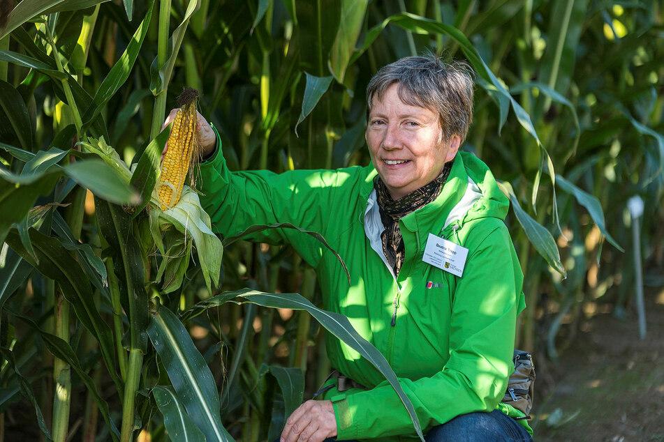 Referatsleiterin Beatrix Trapp (58) erklärt, dass der Mais noch eine relativ junge Kulturpflanze in Europa ist und bisher wenige Pilzkrankheiten und Schädlinge kannte.