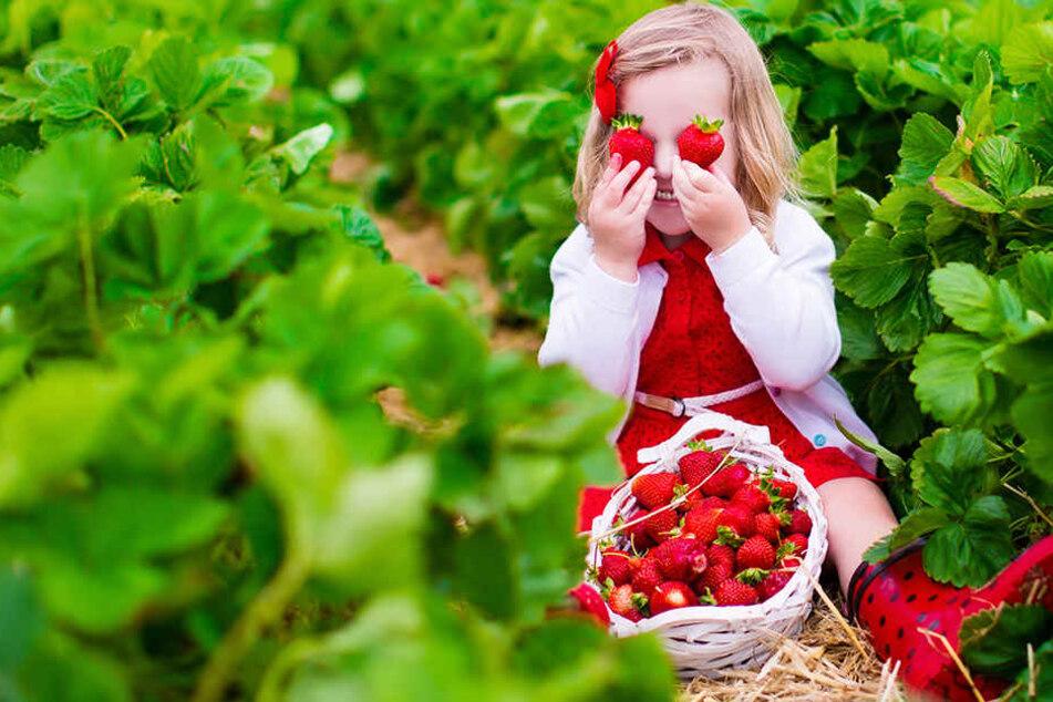 Die Obstbauern können sich über eine Rekordernte bei den Erdbeeren freuen.