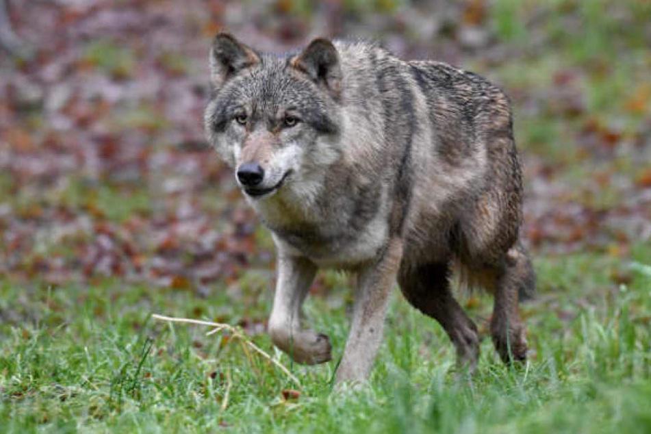Ein Wolf hat den Jagdhund getötet! (Symbolbild)