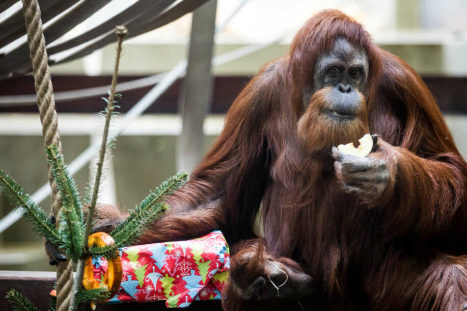 Die Orang-Utan-Dame Carolina bekommt ein Weihnachtsgeschenk.