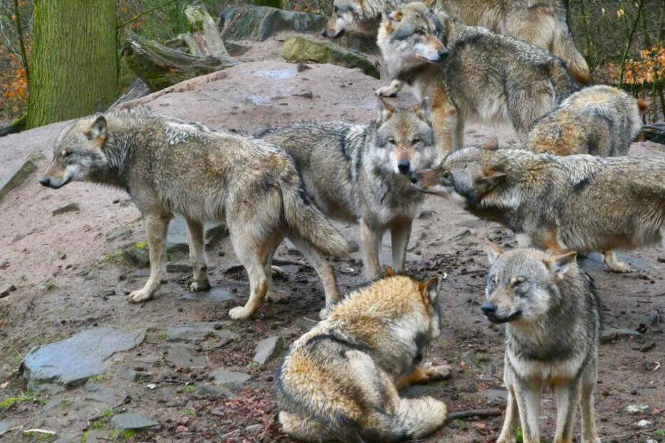 """Bei der letzten Zählung im Oktober 2018 wurden 18 Wolfsrudel und vier Einzelpaare erfasst. In diesem Jahr wurden laut Kontaktbüro """"Wölfe in Sachsen"""" bislang sechs tote Wölfe registriert."""