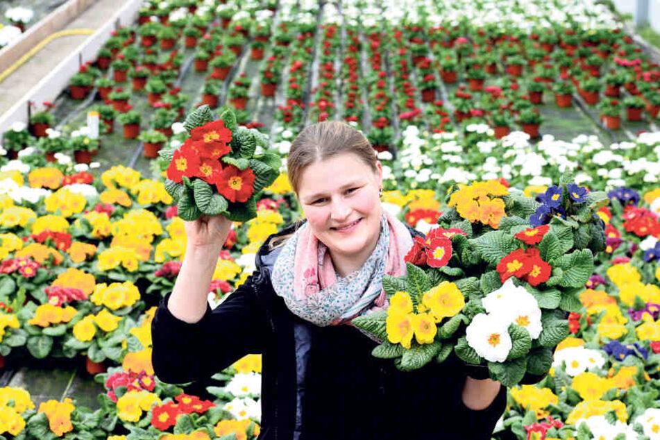 Auf die Primeln: Floristmeisterin Marlen Müller (31) feiert heute in der  Leubener Gärtnerei Müller ein Frühlingsfest.
