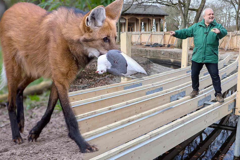 Auf die neugestaltete Südamerika-Anlage sollen unter anderem Mähnenwölfe (l.) ziehen. Zoodirektor Jörg Junhold (r.) machte sich über den Baufortschritt schlau.