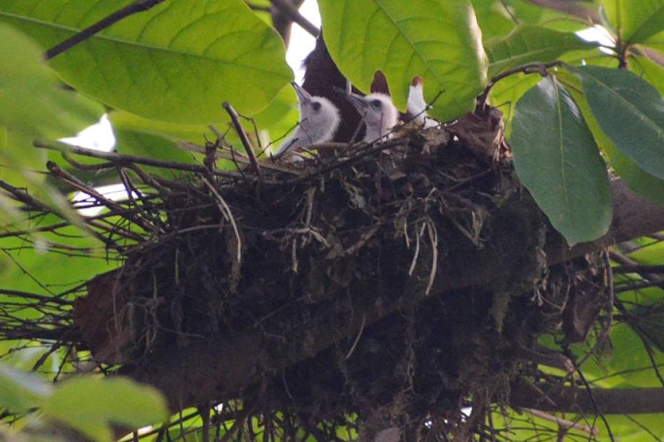 Vogel-Nachwuchs: Die kleinen Mähnenibisse im Gondwana-Land.