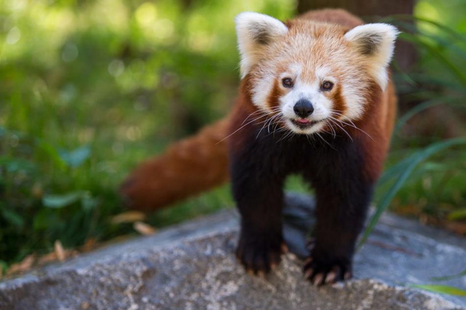 Himalaya mal anders: Zoo eröffnet Millionen-Anlage bei Gluthitze