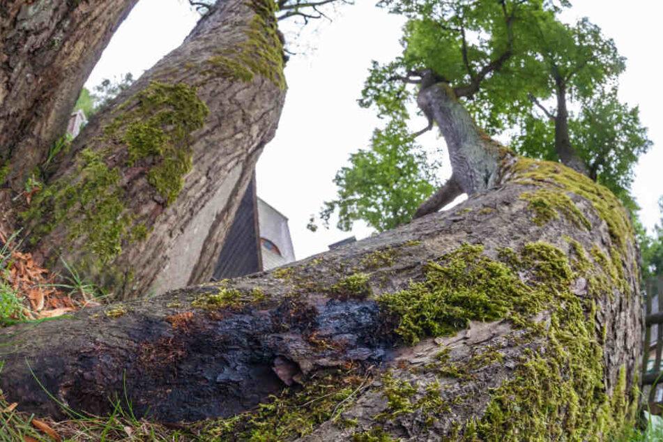 Das ist der Übeltäter: Der Brandkrustenpilz hat den historischen Baum befallen.