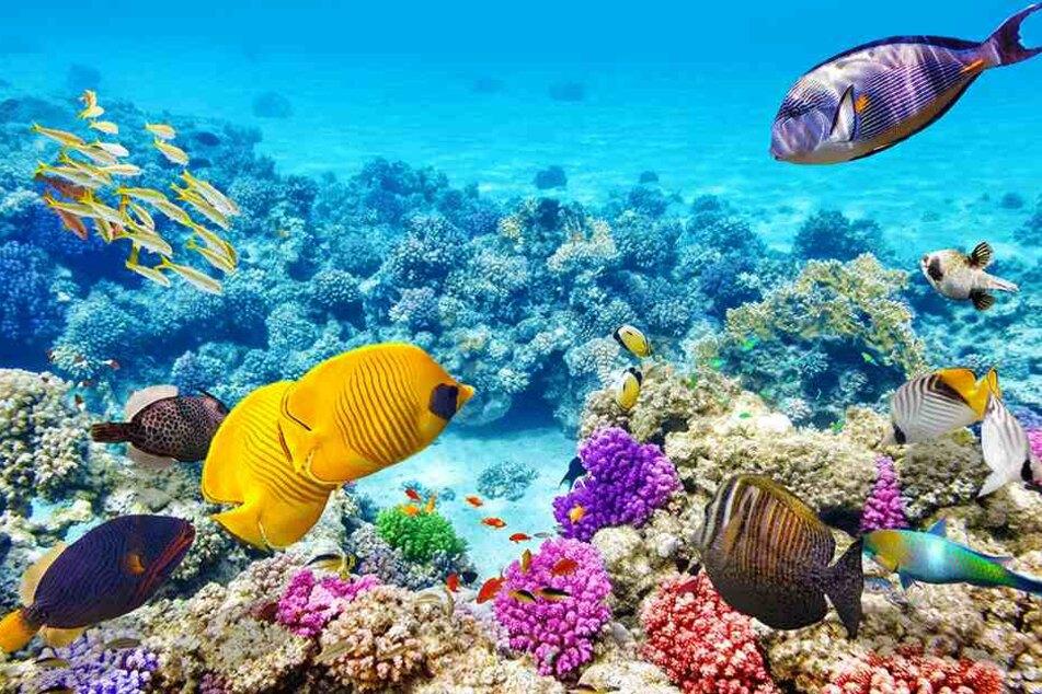 Das Great Barrier Reef ist die größte von Lebewesen geschaffene Struktur der Erde und sogar vom Weltraum aus zu sehen.