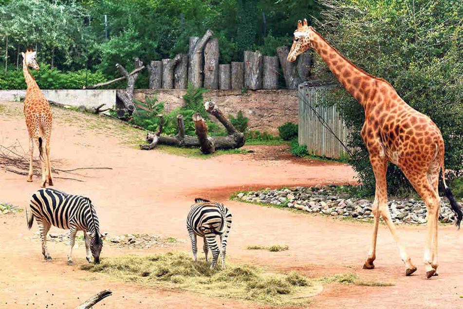 Die Giraffen vertragen sich, aber der Bulle sorgt nicht für Nachwuchs.