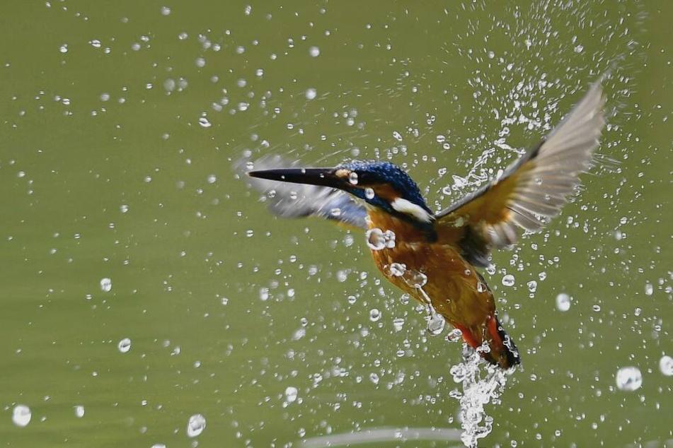 Ruhe, bitte! Zwischen März und September brütet der streng geschützte Eisvogel im Leipziger Auwald.