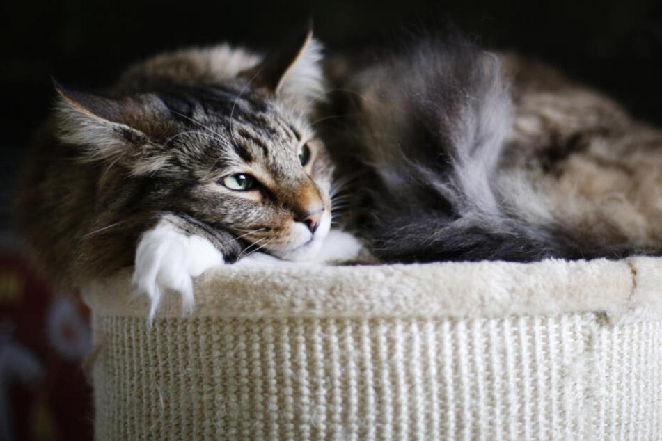 Die Katze liegt gemütlich auf einem Hocker. (Symbolbild)