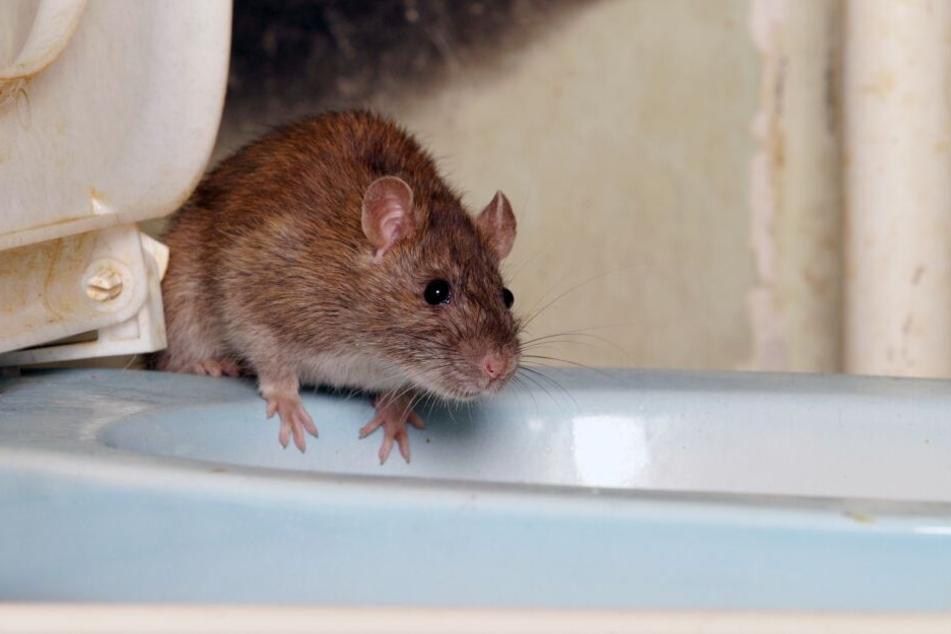 Die Nudelsuppe im Klo runterspülen? Keine gute Idee! Denn die Ratten vermehren sich nicht nur in der Kanalisation, sondern kommen über die Rohre auch in Eure Wohnung!