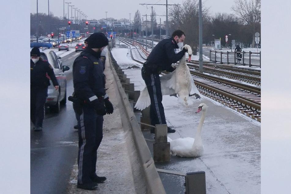 Diese zwei Schwäne saßen auf der Floridsdorfer Brücke in Wien. Die Polizei rückte an.