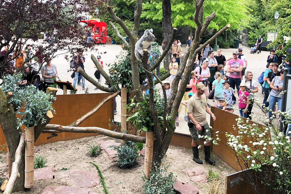 Koala-Dame Mandie (3) testet unter den Augen der Zoo-Gäste das neue Außengehege.