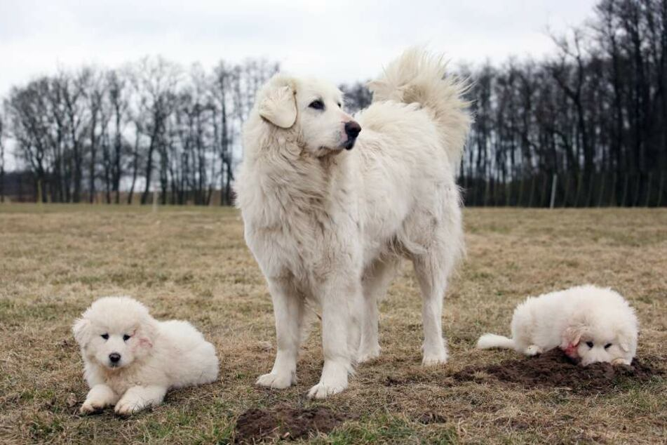 They look similar to golden retrievers, but Grand Pyrenees are effective guard dogs.