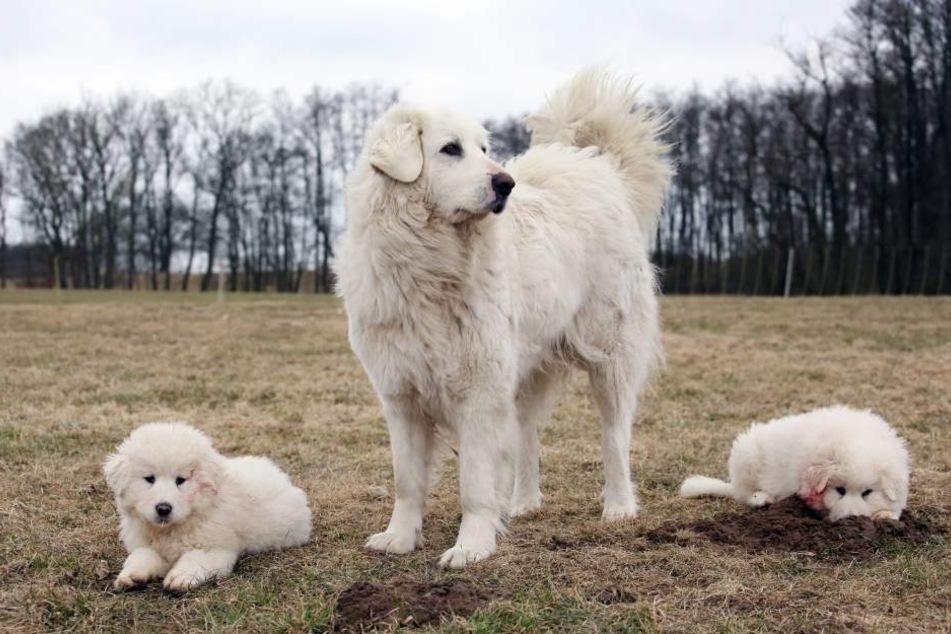 Sie sehen fast aus wie der beliebte Golden Retriever, sind aber eher Wachhund als Schoßhund.