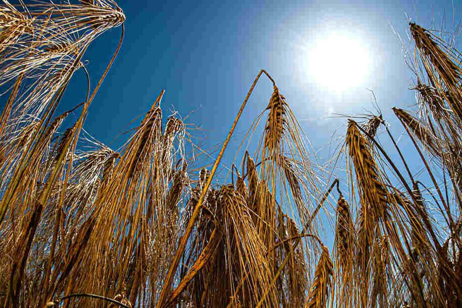 Die Dürre der letzten Tage setzt den Feldern zu.