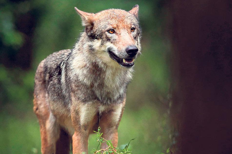 Ein junger Wolf wie dieser  streifte Ende März durchs Vogtland. Es war dort die erste Wolfssichtung seit Generationen.