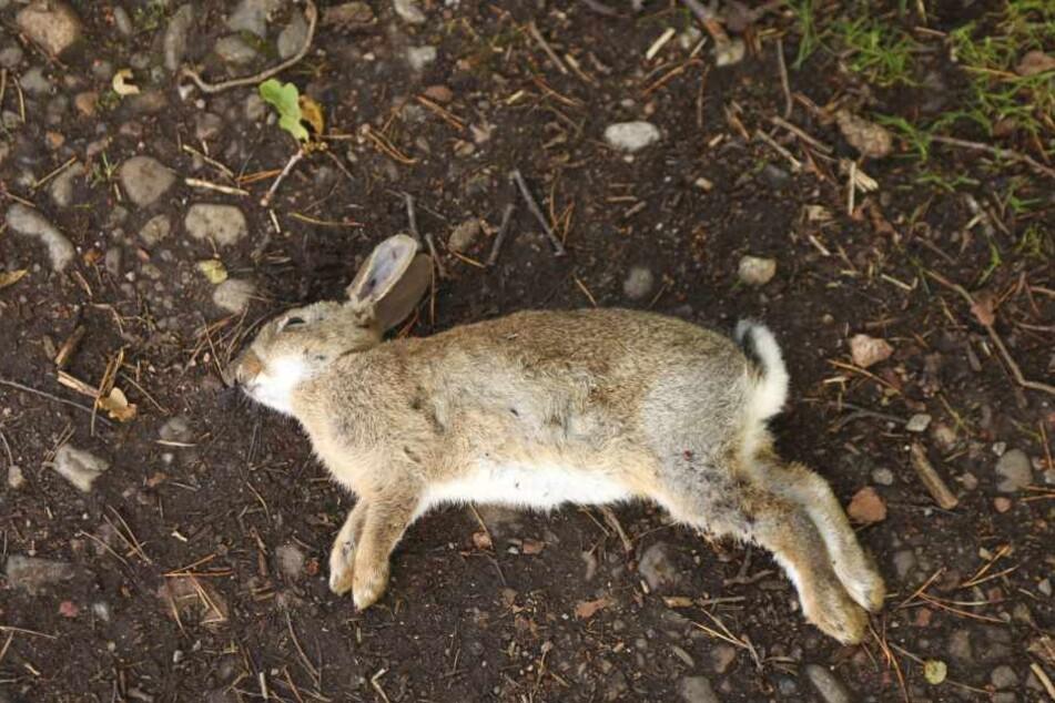 38 tote Kaninchen wurden jetzt auf einem Feld entdeckt.
