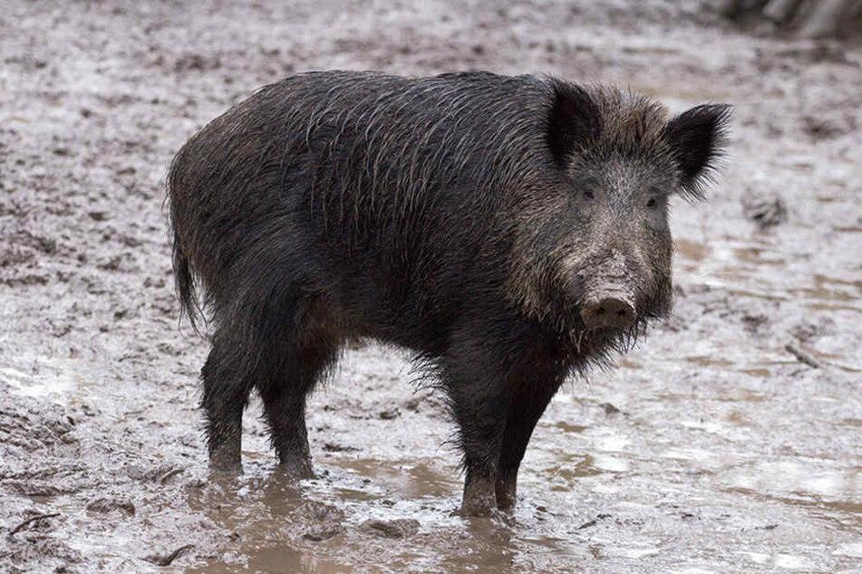 Für zwei Unfälle sorgte ein Wildschwein bei Paderborn.