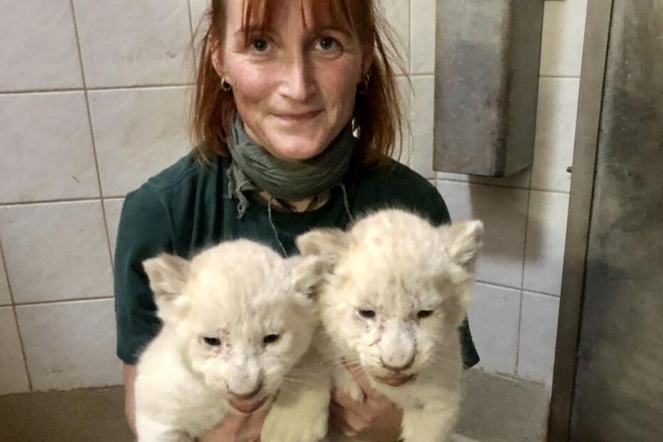 Nach rund einem Monat sind die Löwen-Babys wohlauf und gesund.