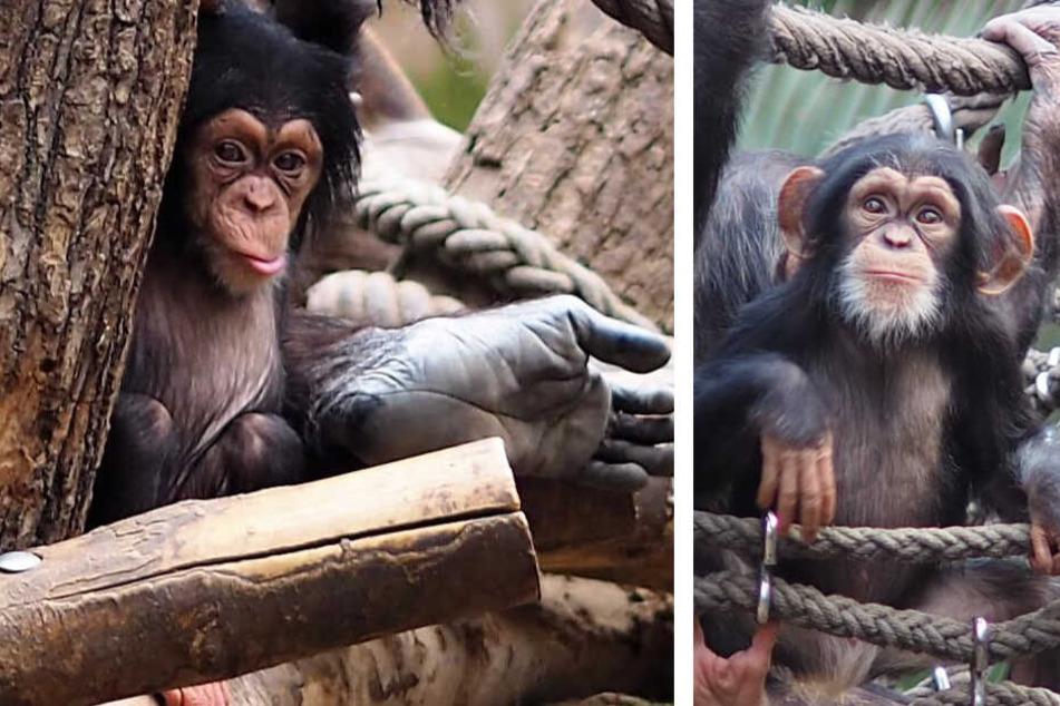 Süße Schimpansen-Babys feiern in Leipzig Geburtstag und ein trauriger Abschied