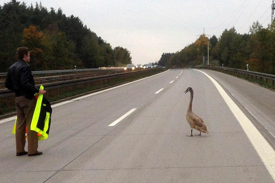 Der Schwan hatte sich auf der Autobahn total verirrt. (Symbolbild)