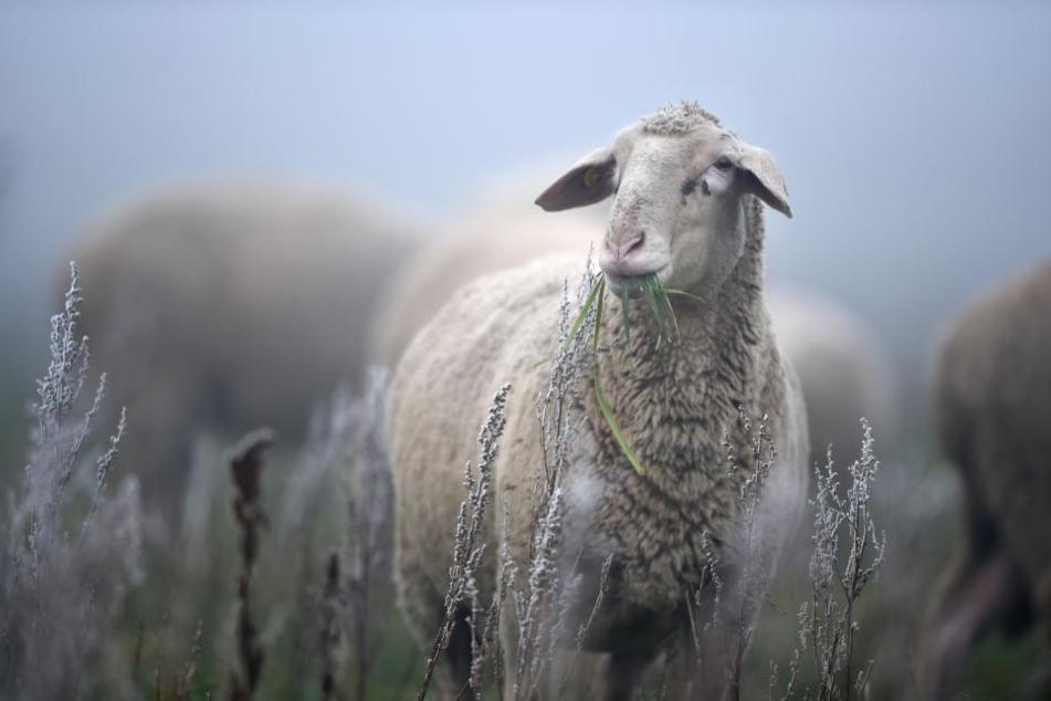 Dem Schaf wurde in Korbach brutal der Kopf abgetrennt.