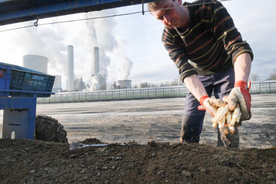 Die Abwärme aus dem Braunkohle-Kraftwerk beheizt das Spargelfeld.