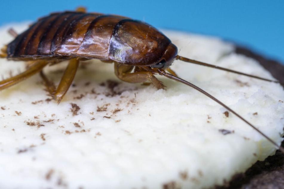 Dschungelcamp: Dschungelcamp: Keiner muss mehr lebende Insekten essen!