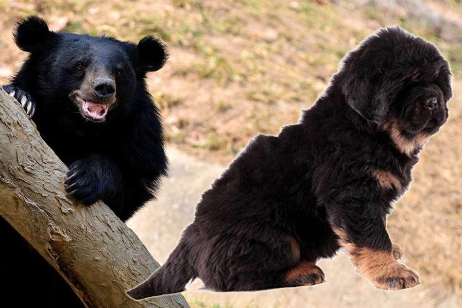Ein asiatischer Schwarzbär und eine tibetische Dogge: Für die Chinesin blieb der Unterschied zwei Jahre lang verborgen.