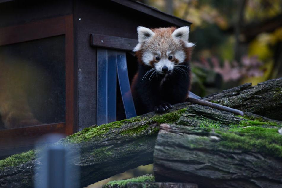 Hat ein dickes Fell: Der Rote Panda darf im Winter an der frischen Luft bleiben.