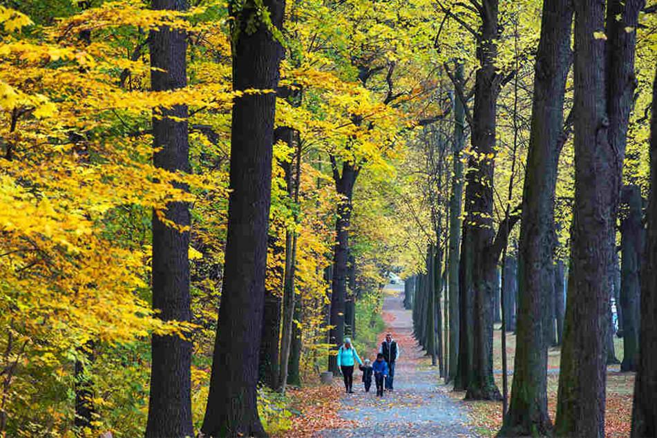 Bunter Küchwald: Das meiste Chemnitzer Laub fällt laut der Stadt von Linden- und Ahornbäumen.