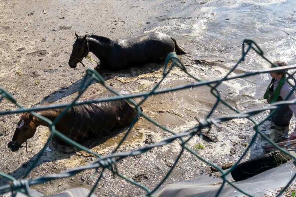 Pferde stürzen in Güllegrube: Feuerwehr muss mit schwerem Gerät anrücken