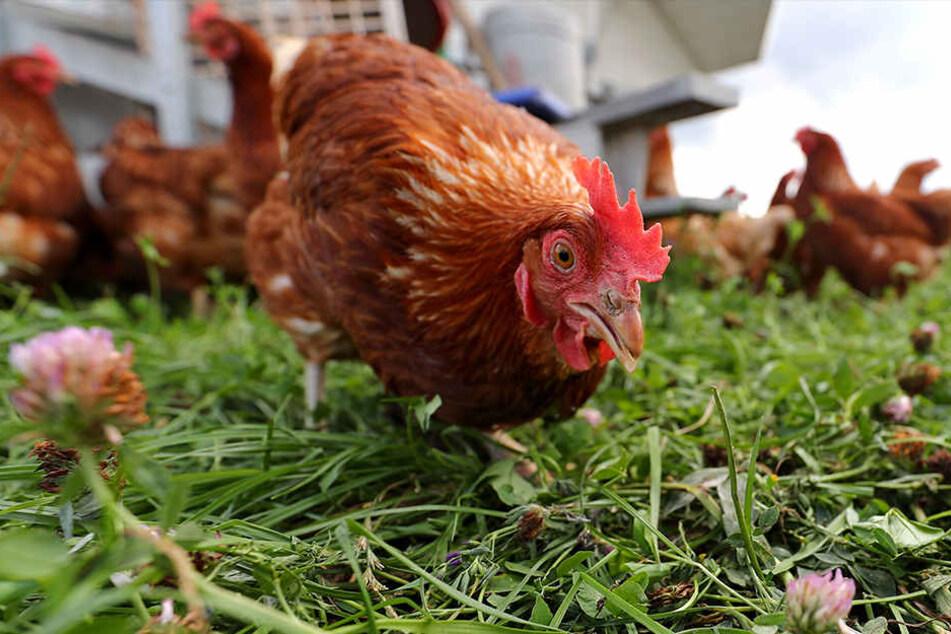 5,3 Kilometer ist das Huhn bis nach Hause gelaufen. (Symbolbild)