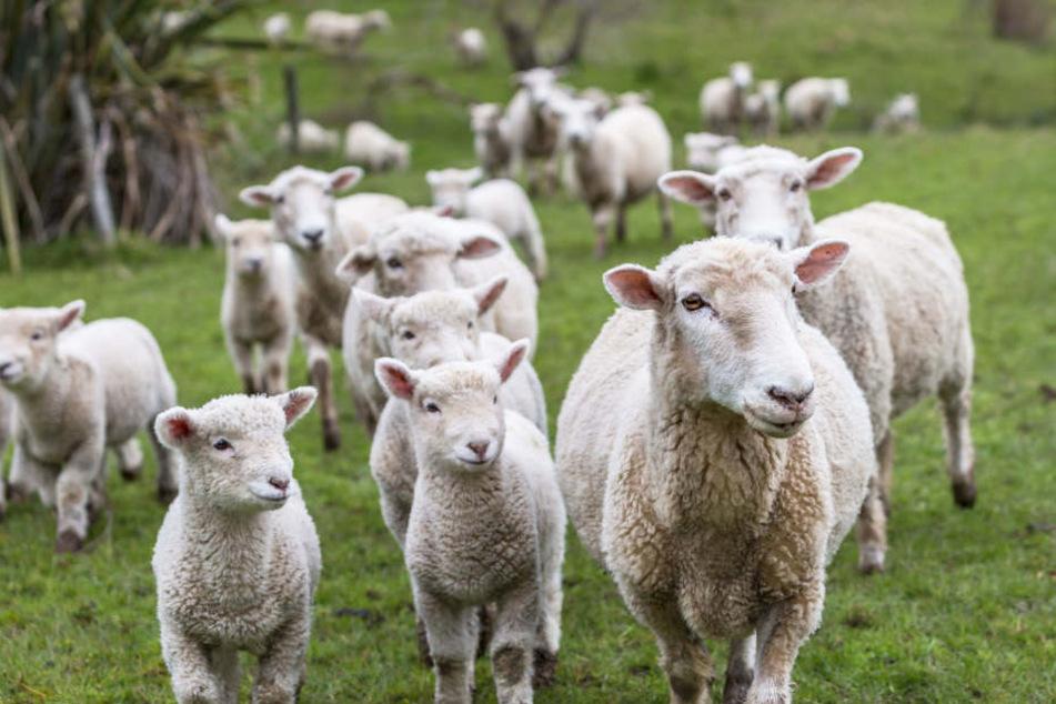 Gefundenes Fressen: Wölfe rei- ßen bei den Nutztieren meist Schafe.