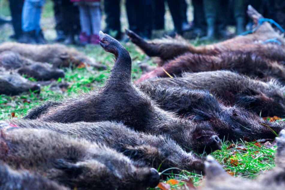 Jäger in NRW haben wegen der Afrikanischen Schweinepest mehr Wildschweine zur Strecke gebracht.