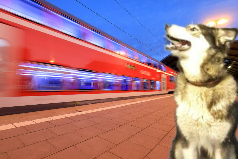 """Hündin """"Aicha"""" stieg ohne ihr Herrchen in einen Zug ein. (Fotomontage)"""
